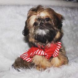 Brindle shih tzu puppy wearing a bow