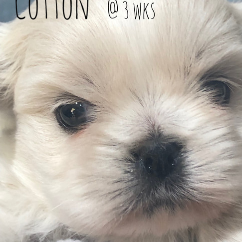 Cotton, a white imperial shih tzu puppy