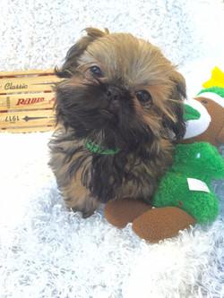Shih tzu puppy with sock monkey