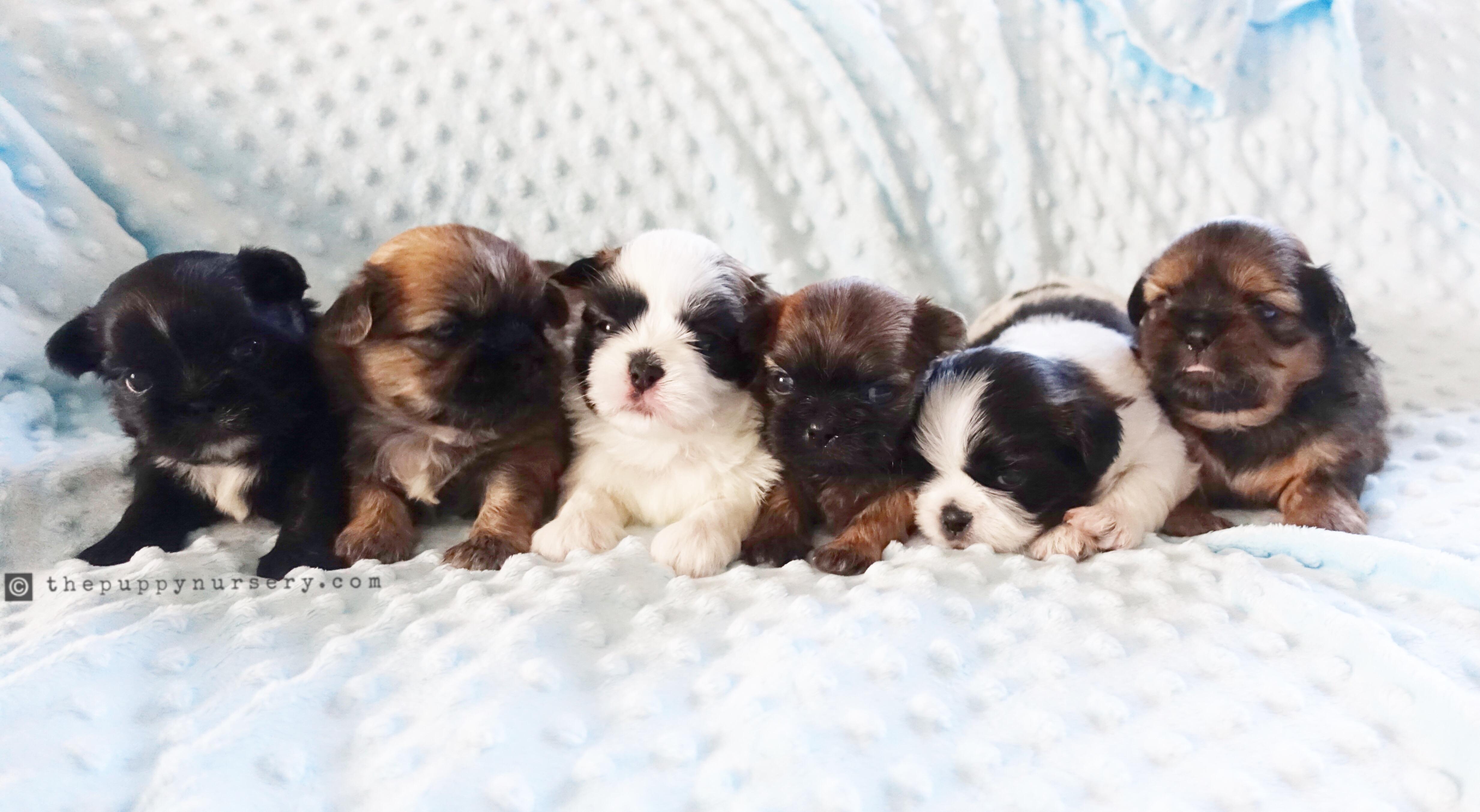 Akc Shih Tzu Yorkie Puppies Tustin Ca The Puppy Nursery