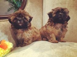 Two brindle shih tzu puppies