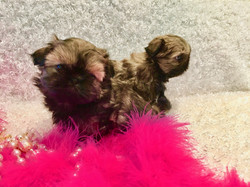 Two brindle puppies with pink boa