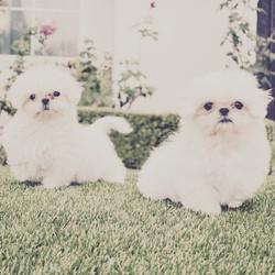 Two white shih tzu puppies outside
