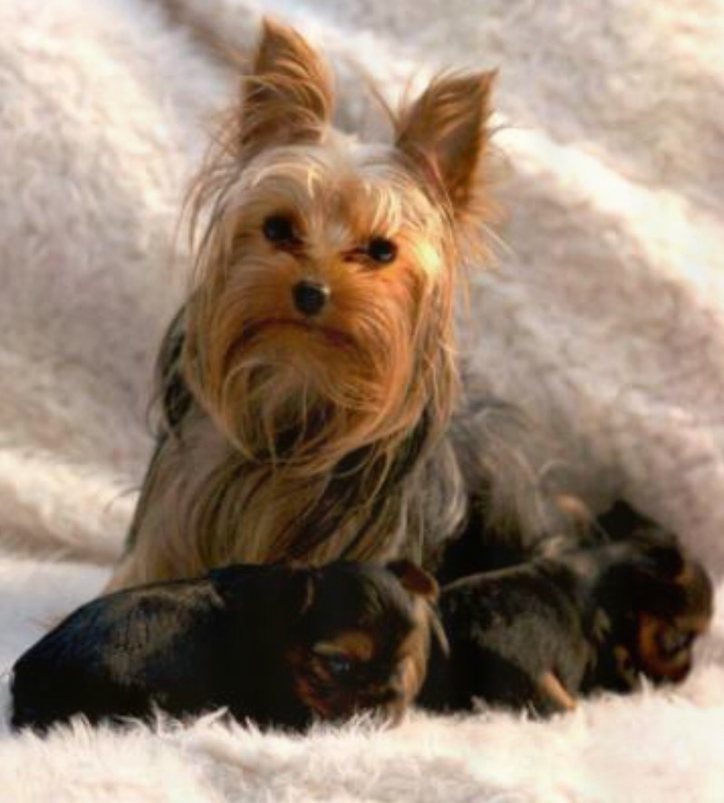 Yorkie mother with puppies