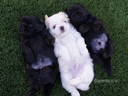 Shih tzu puppies lying in the grass