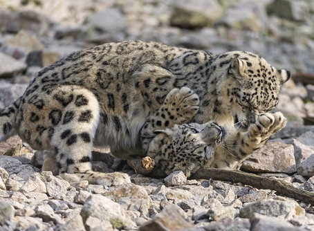 LIVING ON THE ROCKY EDGE WITH THE SNOW LEOPARD