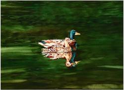 Mallards on a swim