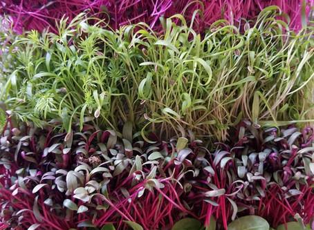 Microgreens on the Menu