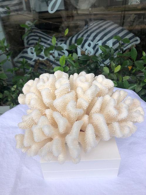 Pocillopora Coral