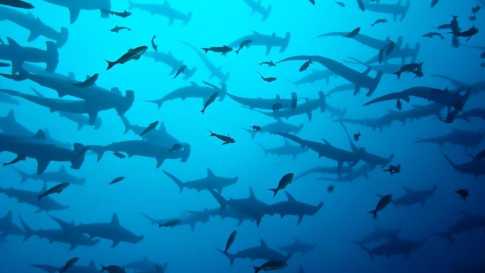 galapagos-hammerhead-shark-1_edited.jpg