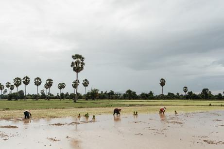 Ricefield in KampongChhnang, Cambodia