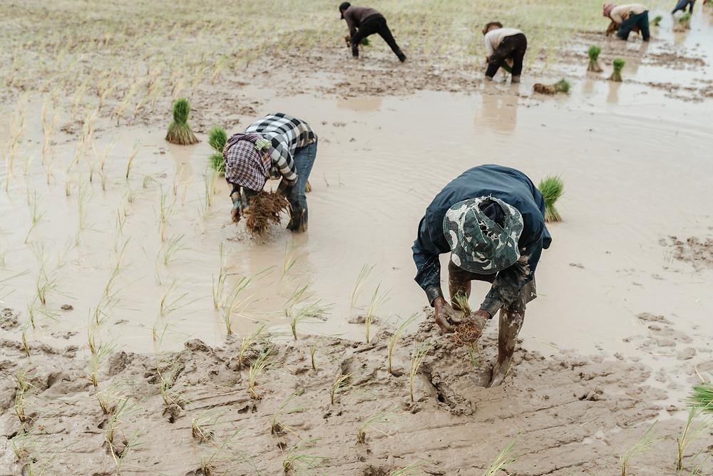Rice field in Kampong Chhnang, Cambodia