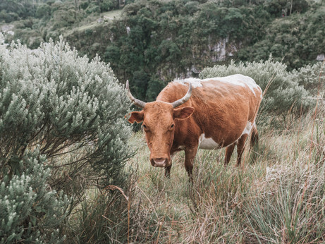 Cow in the green fields of the Itaimbezinho canyon
