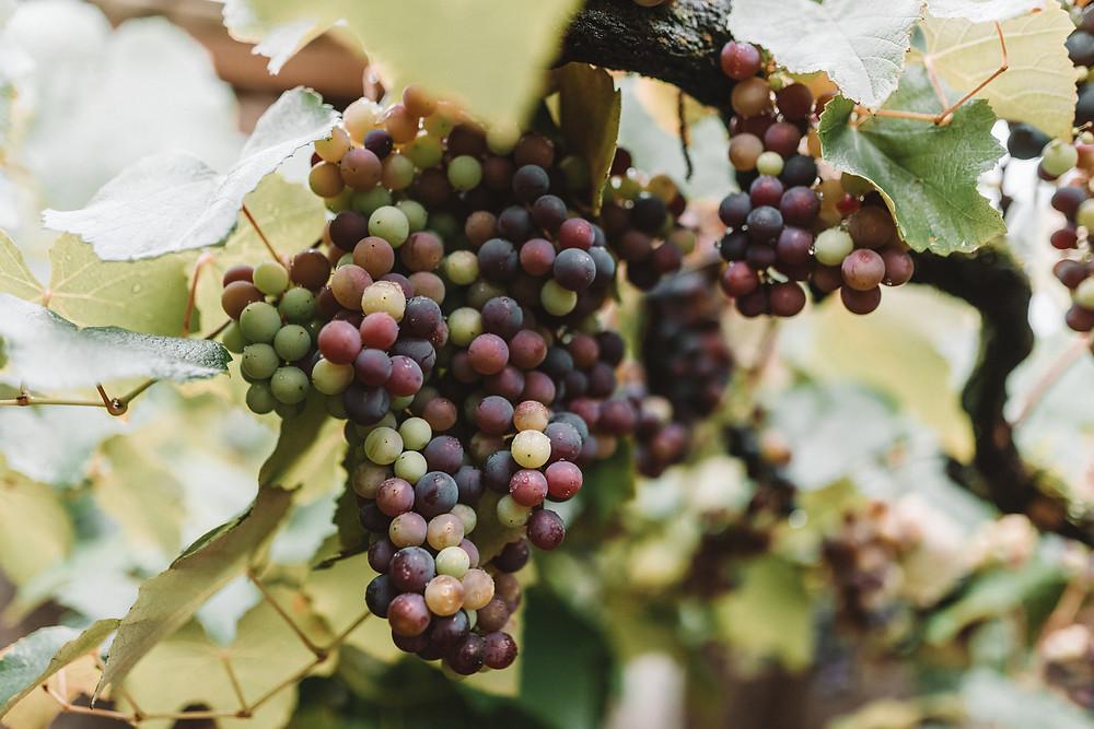 Grapes at Cantina Strapazzon, Bento Gonçalves - Brazil