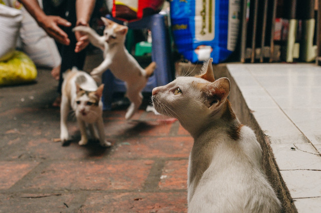 Mom cat with her kittens in Kandal Market, Phnom Penh - Cambodia