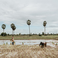 Workers on the ricefield, Cambodia