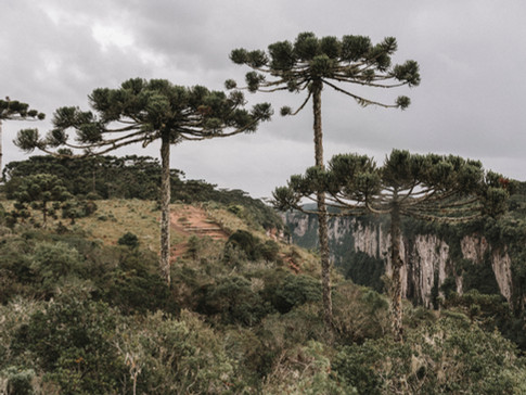 Araucaria trees among the canyons landscape