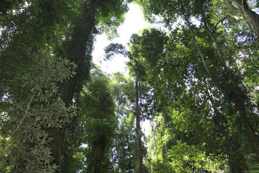 Coramba_rainforest_WikimediaCommons.jpg