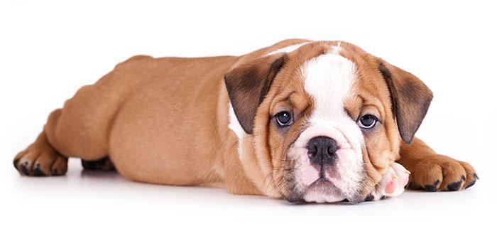 cachorro-deitado