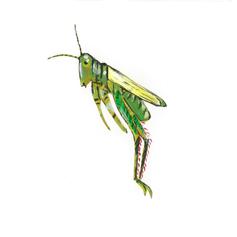 Insect ABC- grasshopper