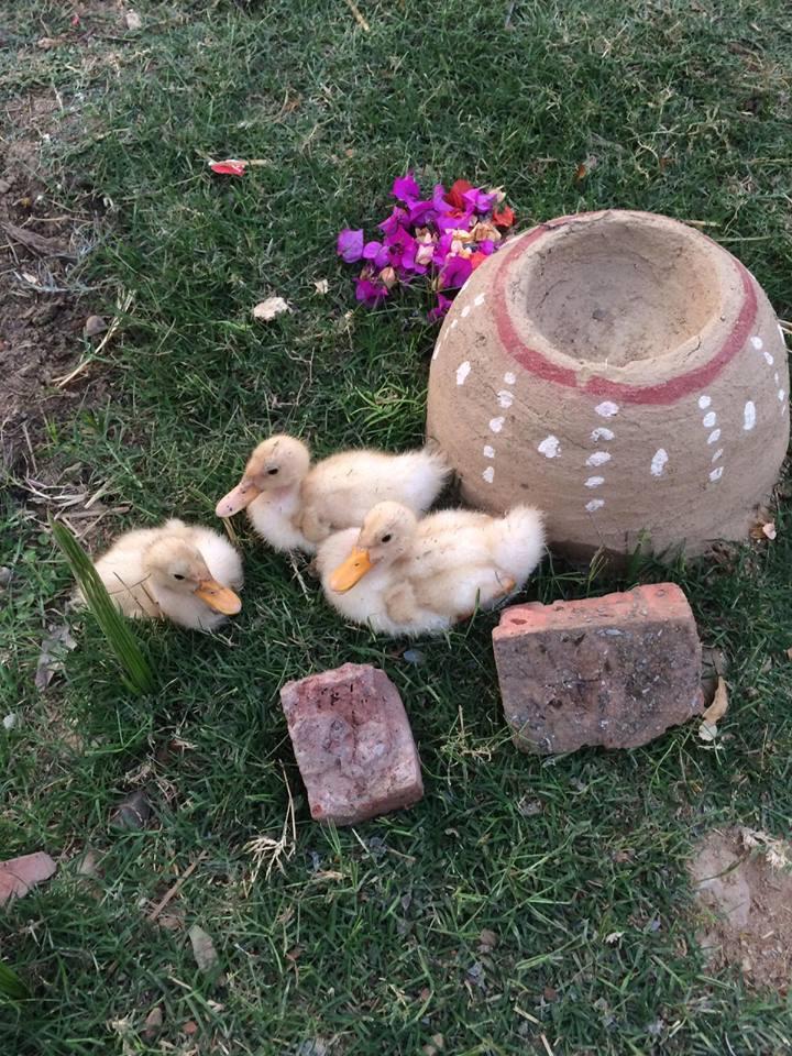 Ashram residents ducks