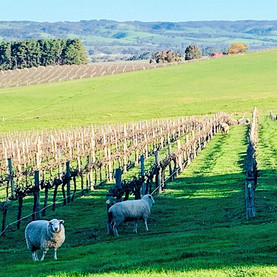 Sheep in the vines