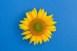 top-view-sunflower-center-blue-surface-c