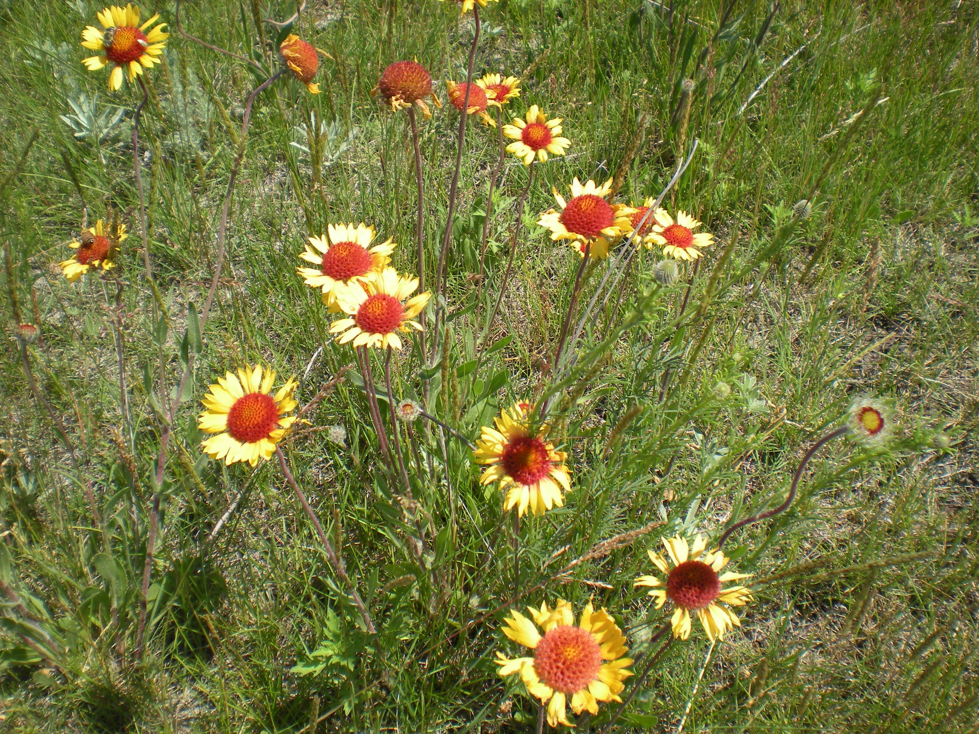 flowering forbs 034