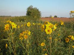 sunflower from internet2