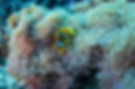 poisson clown anemone plongee sous-marine