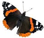 admiral-butterfly.jpg
