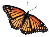 Butterfly-new.jpg
