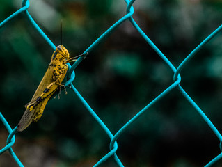 Patience Grasshopper