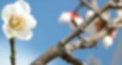Japanese-Quince-19-52P4MRTNRE-1024x768_e