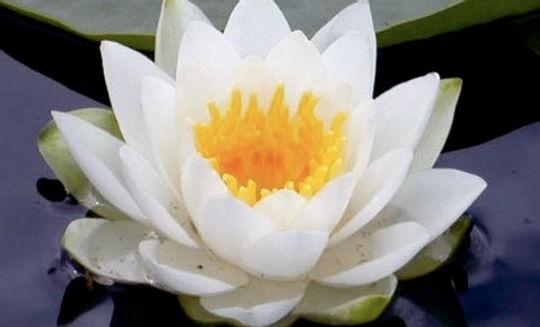 White_Lotus_flower.jpg