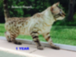 snow bengals, bengal kittens, Florida, Sarasota, Tampa, Orlando, Miami, Bradenton, kittens for sale, seal lynx snow, bengal breeder, cats, Clearwater, Brandon, Jacksonville, Tallahassee, Palm Beach, Fort lauderdale