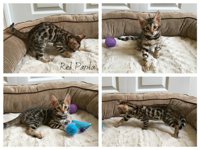 Male Brown Bengal kitten