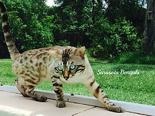 bengal kittens for sale in Florida, Bengal kittens in Sarasota, bengal kittens in Tampa, bengal kittens in Naples, bengal kittens in Clearwater, bengal kittens in Brandon, bengal kittens in Orlando, bengal kittens in Bradenton, Florida