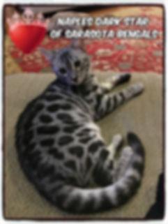 silver bengal cat, Sarasota Bengals