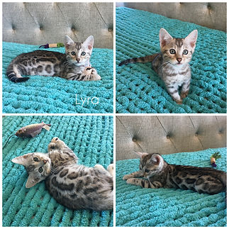 Female Silver Bengal