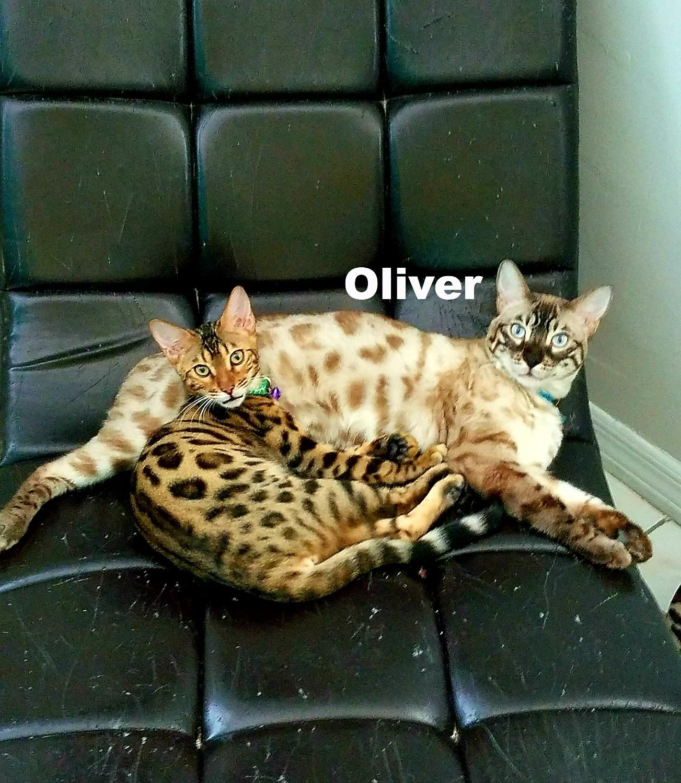Oliver- Lynx snow