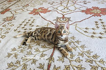Bengal kittens for sale in Florida, Bengal kittens in Sarasota, Bengal kittens in Tampa, Bengal kittens in Naples, Bengal kittens in Clearwater, Bengal kittens in Brandon, FL