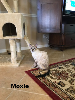 Moxie- Lynx snow