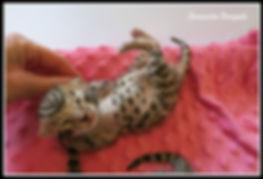 bengal kittens, Sarasota Bengals, bengal kittens for sale, Florida, kittens, Bradenton, Tampa, Orlando, Lakeland, Venice, Port Charlotte, Fort Myers, Naples, Miami, Myakka, Lakewood Ranch, cute kittens