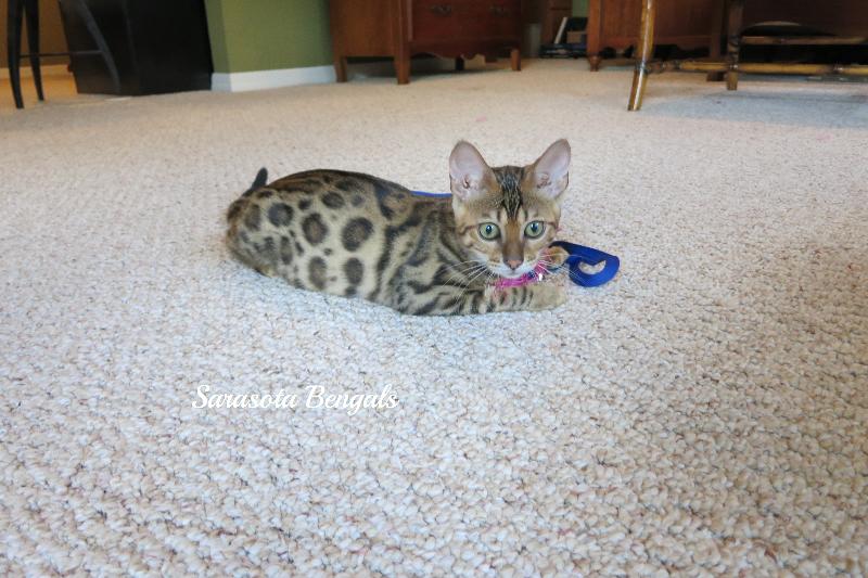 best cat urine remover for hardwood floors