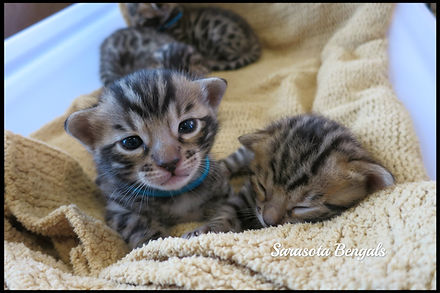 bengal kittens, Florida, kittens for sale, bengal cat, bengal breeder, Tampa, Orlando, Naples, Brandon, Clearwater, Fort Myers, Lakeland, Lakewood ranch