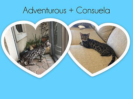 Bengal cats Sarasota
