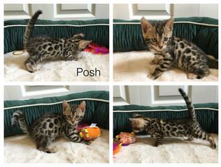 Female Brown Bengal kitten- 6 weeks old
