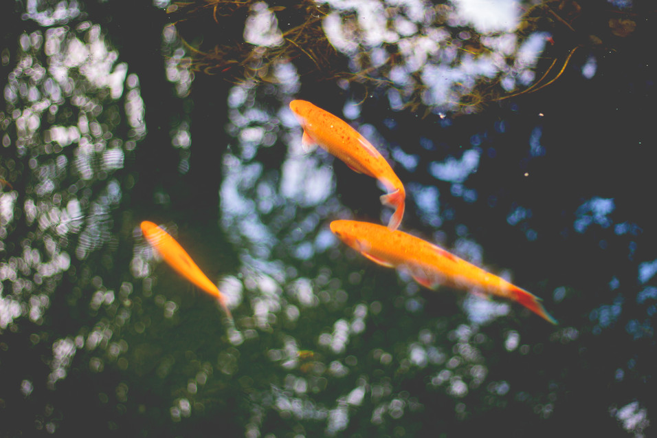 'Goldfish' photo - Rachel Dunford.jpg