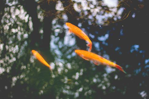 'Goldfish' photo - Rachel Dunford.jpg